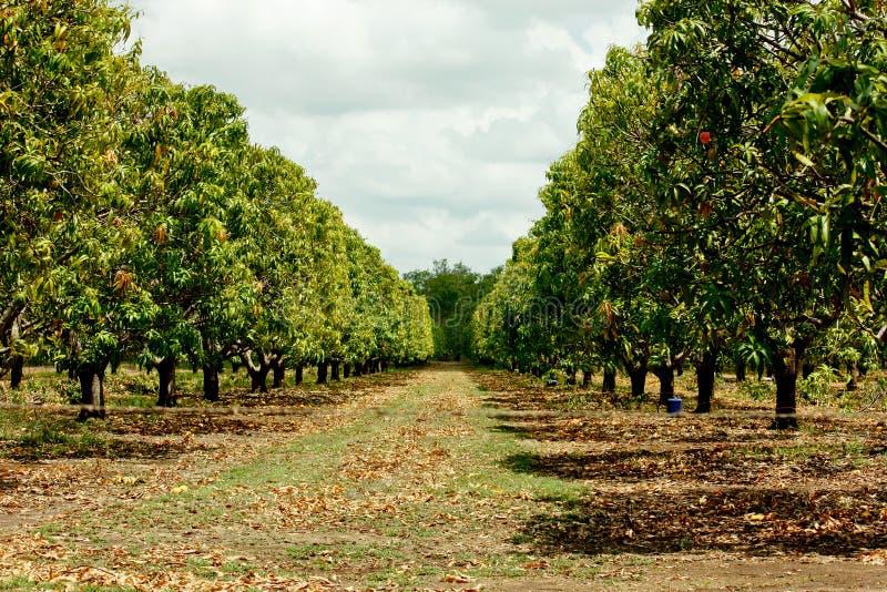 芒果树种植园 图库摄影