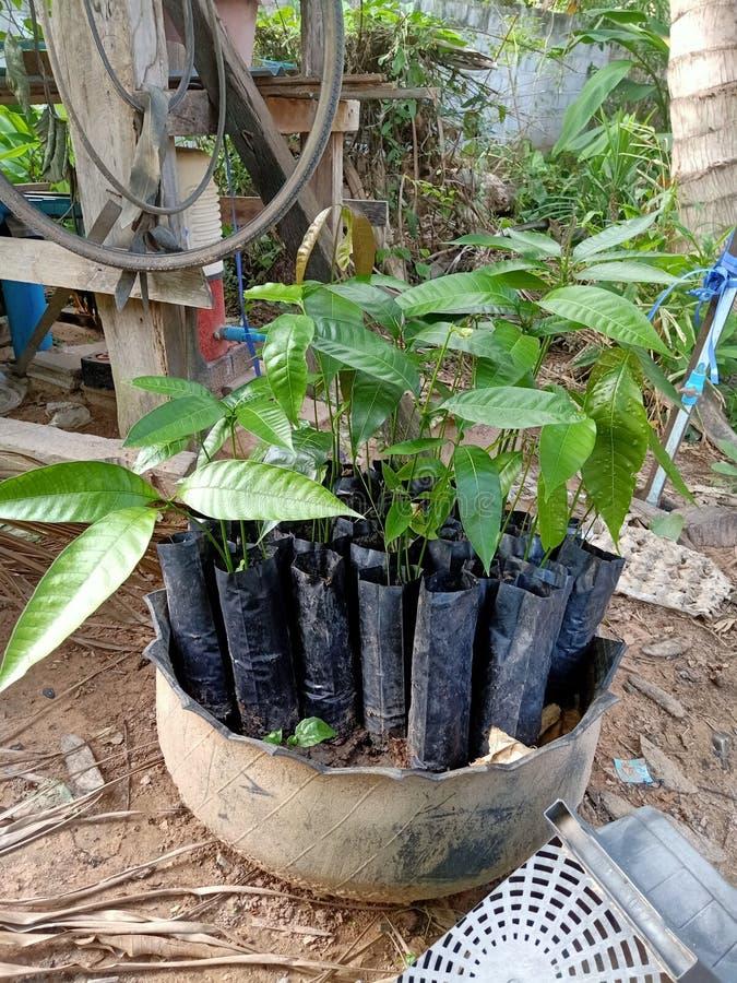 芒果植物 库存照片