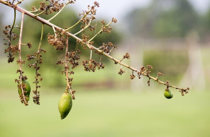 芒果花花束和绿色芒果在tr结果实 免版税库存图片