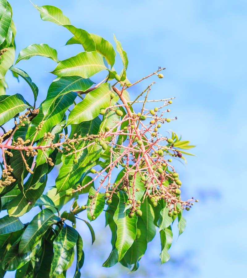 芒果花花束  库存照片
