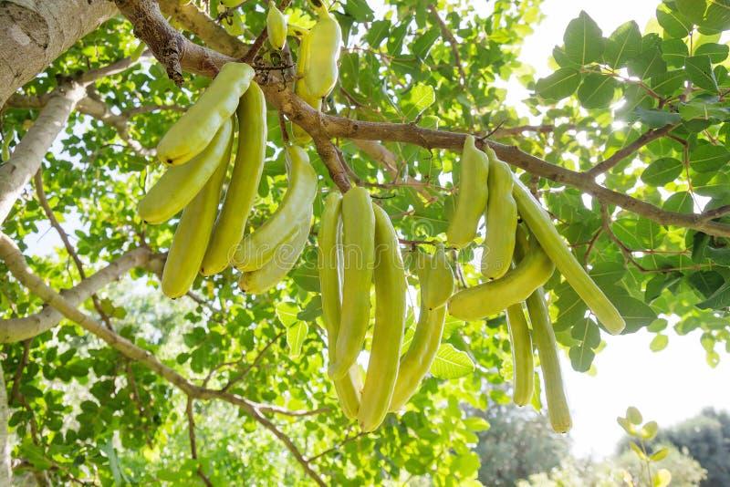 芙蓉角豆科植物类绿色荚  图库摄影