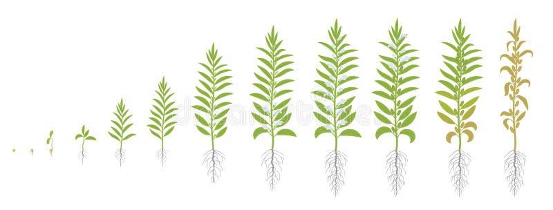 芝麻庄稼阶段  增长的芝麻植物 并且叫芝麻 热带香草indicum 传染媒介平的例证动画 向量例证