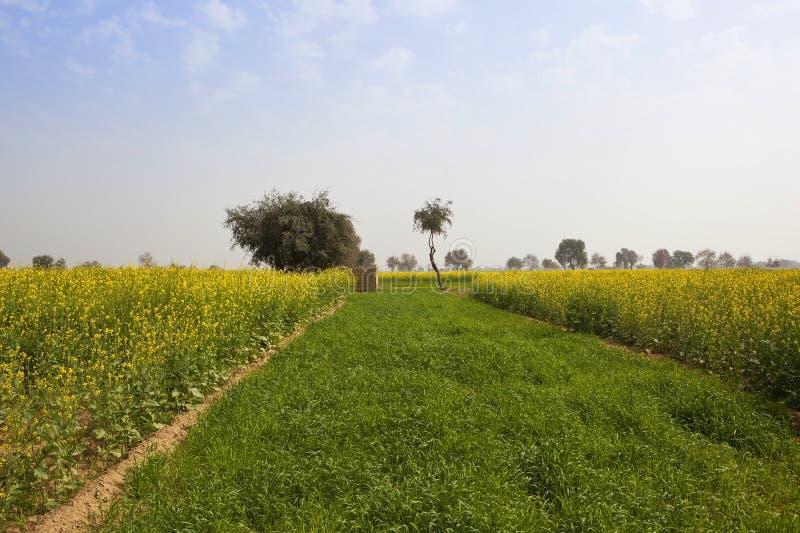 芥末庄稼在拉贾斯坦 库存图片