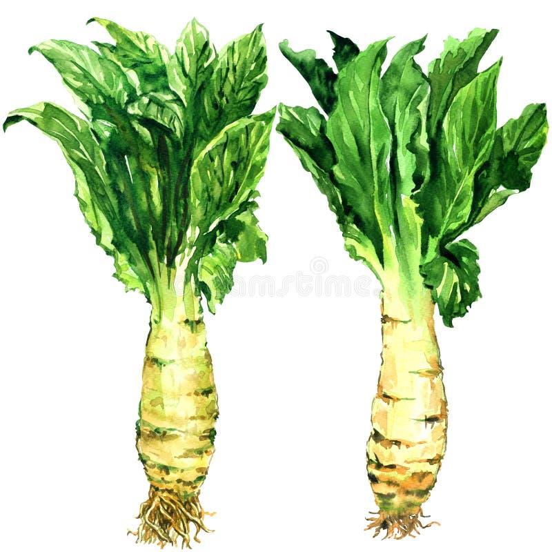 芦笋莴苣、芹菜、蒿笋菜、词根和被隔绝的绿色叶子,在白色的水彩例证 免版税库存图片