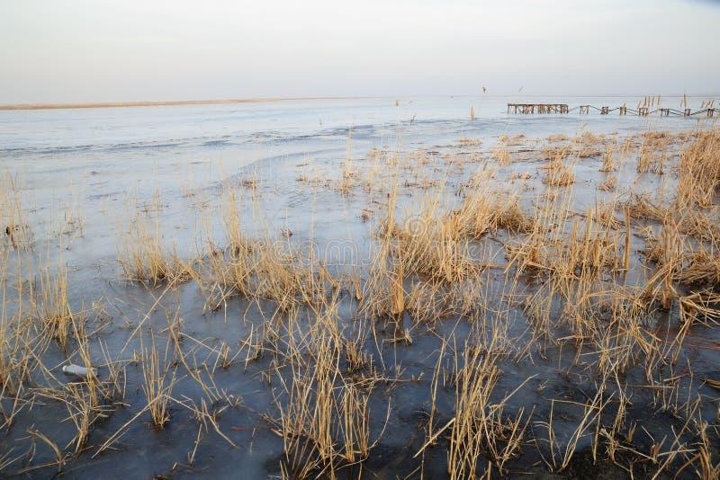 芦苇在冻结湖 免版税库存照片