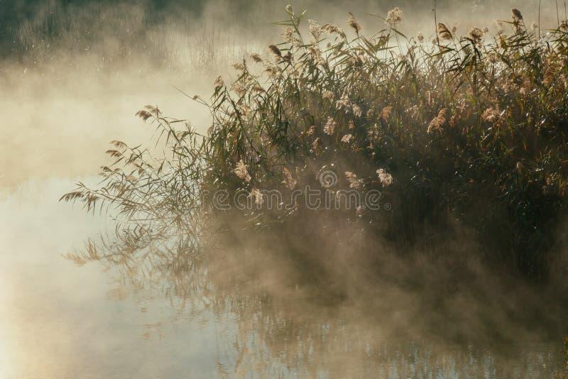 芦苇在水` s边缘和秋天早晨在湖日出使模糊 库存图片