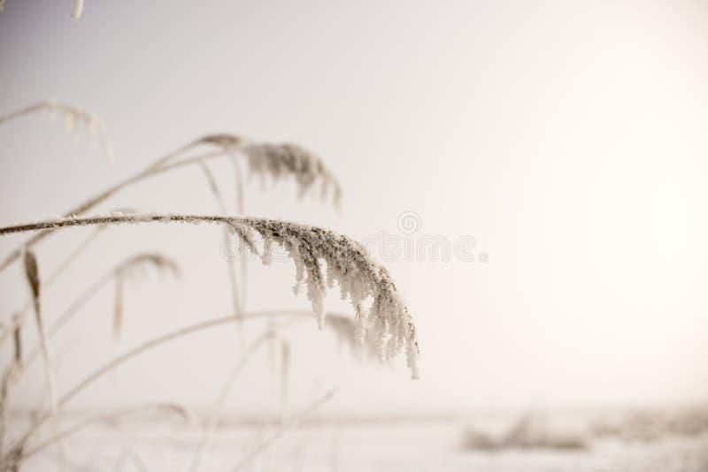 芦苇属在冬天 库存照片