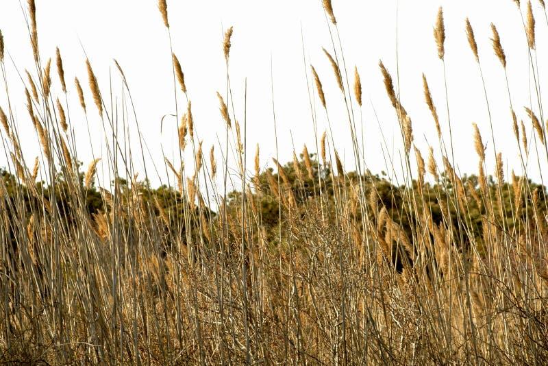 芦苇属从蠕虫的眼睛视图用茅草盖在Assateague 库存照片
