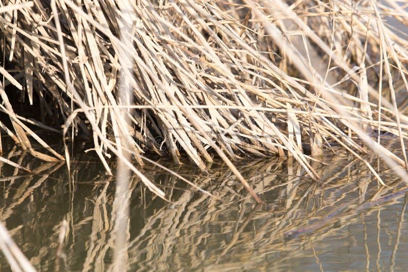 芦苇根在水中本质上 图库摄影