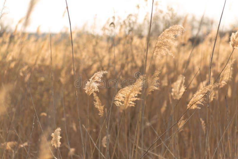 芦苇茎软的焦点吹在风的在金黄日落光 太阳通过在晴朗的天气的干燥芦苇草发出光线发光 库存照片