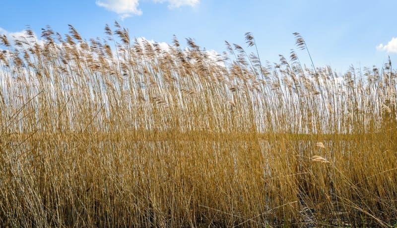 芦苇词根挥动的凋枯的种子头反对蓝天的 免版税库存图片