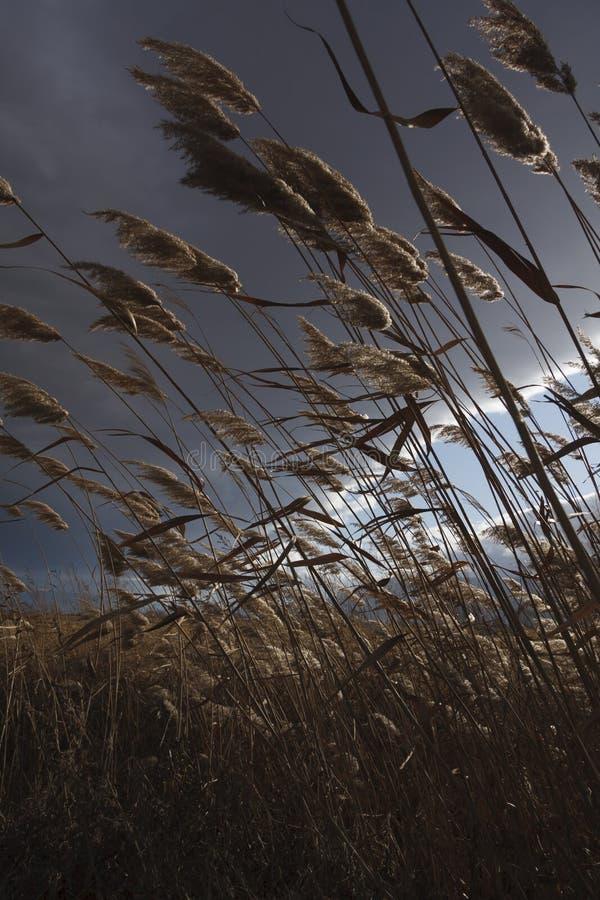芦苇,纸莎草,反对多云天空 秋天横向 免版税库存照片