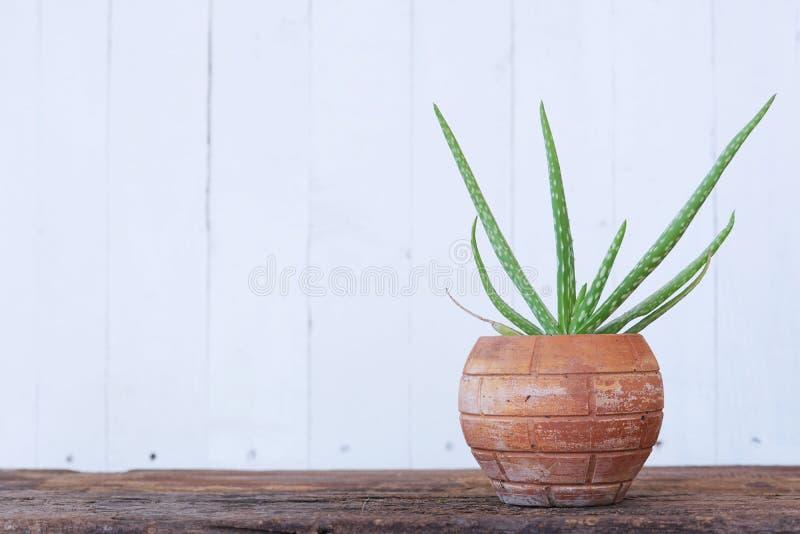 芦荟维拉在木桌上的盆栽植物有白色木墙壁背景 免版税库存照片