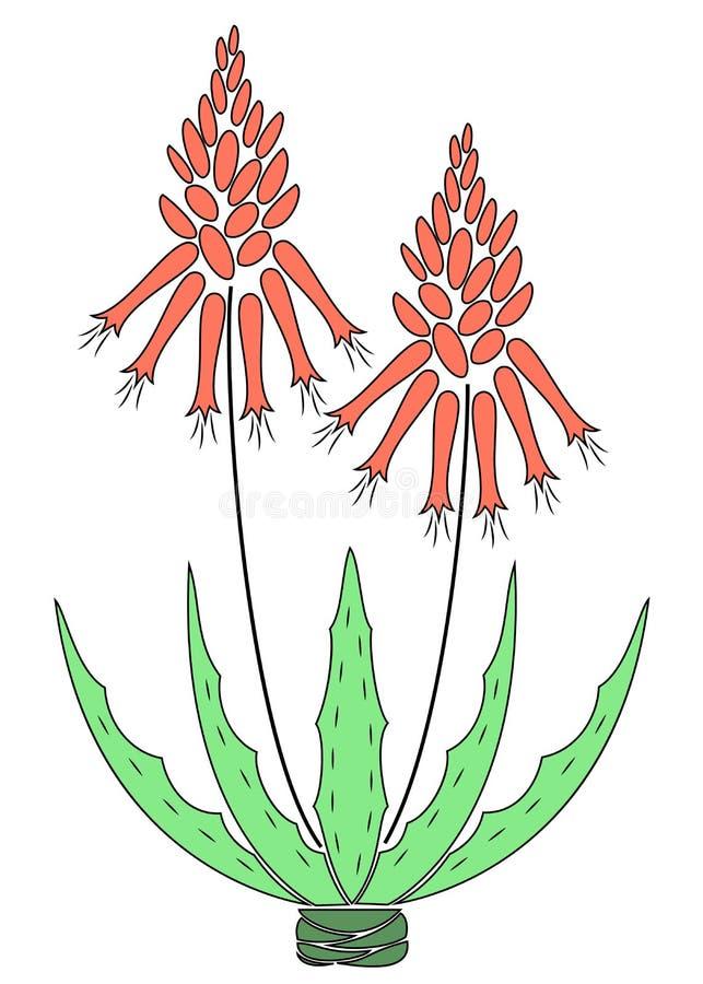 芦荟维拉花盆 花盆绽放,红色花 美丽的药用植物 r 库存例证