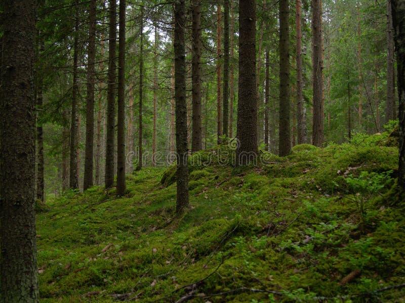 芬兰森林 库存照片