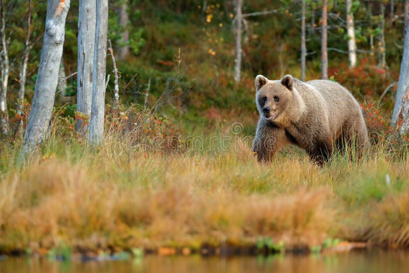 从芬兰的野生生物场面在更加大胆的俄罗斯附近 有熊的秋天森林 走在有秋天colo的湖附近的美丽的棕熊 免版税库存图片