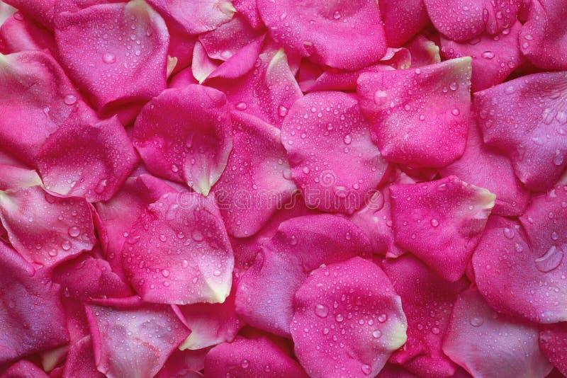 芬芳桃红色玫瑰有水下落的花瓣 库存图片
