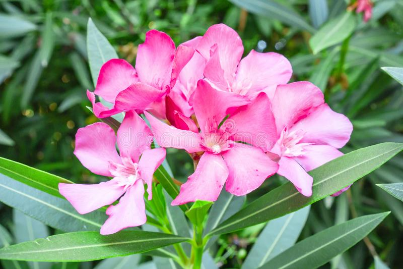芬芳甜夹竹桃或夹竹桃的可爱的桃红色瓣花束,开花在绿色叶子,模糊的背景 免版税库存照片