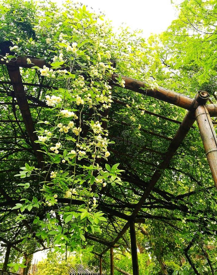 芬芳白乳脂状的花登山人在中国庭院里 库存照片