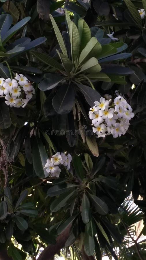 芬芳白色赤素馨花,羽毛 与白色绽放的异乎寻常的庭院树 免版税库存图片
