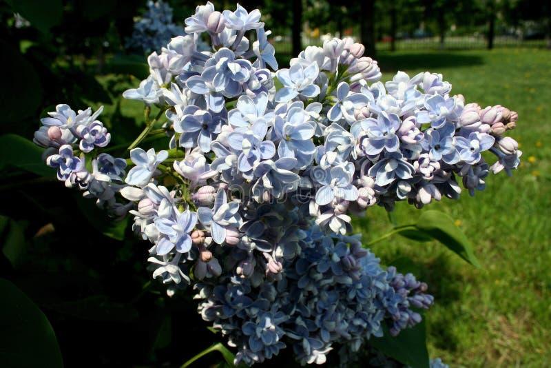 芬芳蓝色丁香美丽的刷子  免版税库存照片