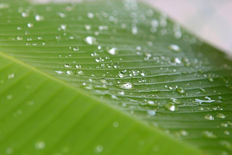芭蕉科sp 有水滴下落露水的香蕉叶子 免版税库存照片
