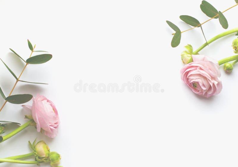 花、桃红色毛茛属花和玉树分支框架在白色背景   免版税库存照片