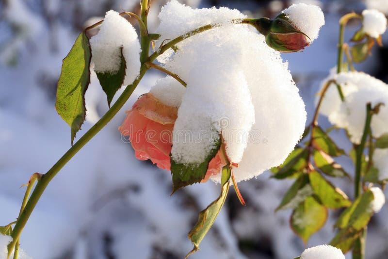 花上升了在雪下 免版税库存图片