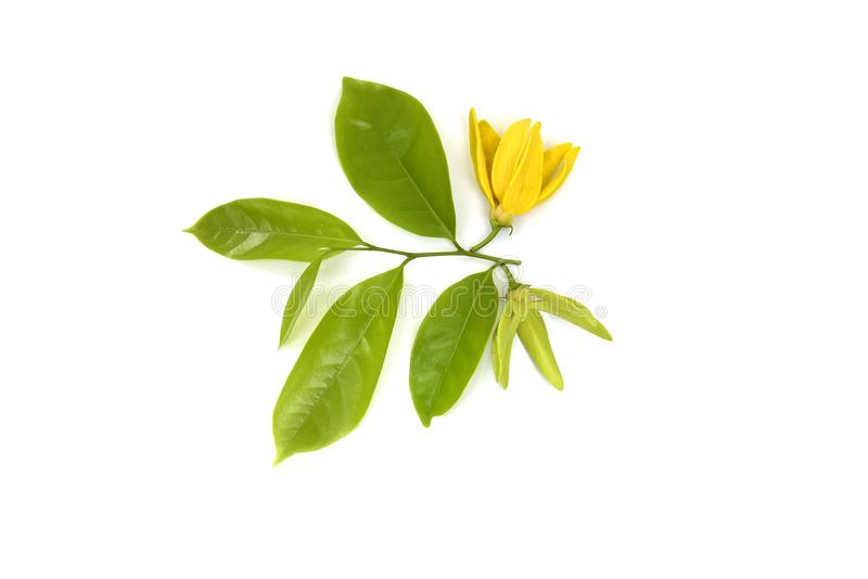 花上升的香水,被隔绝的上升的ilang-ilang 免版税库存图片
