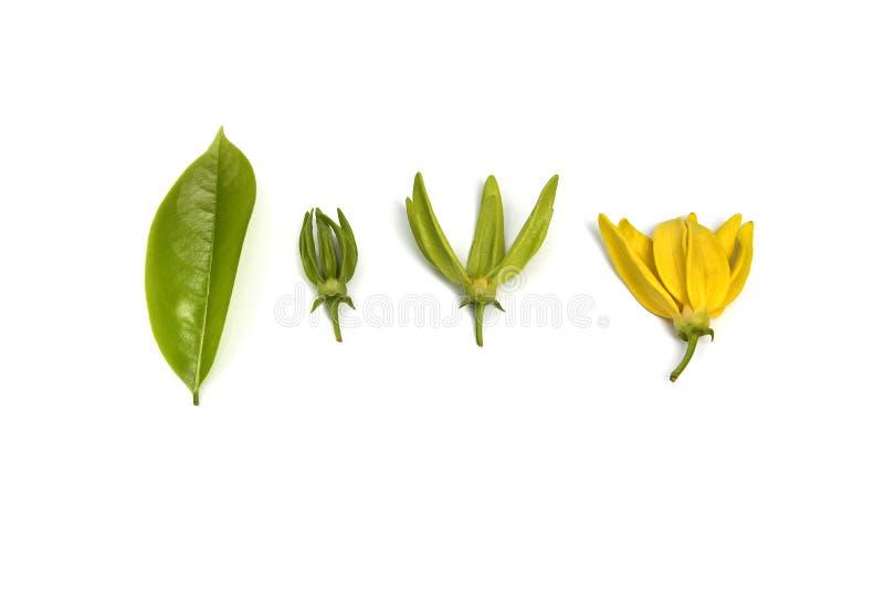 花上升的香水,被隔绝的上升的ilang-ilang 库存图片