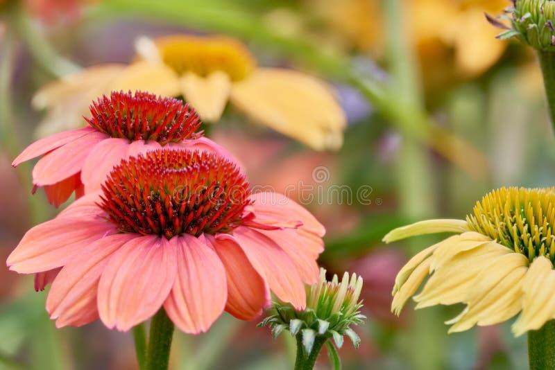 花两玫瑰色的开花在有背景软的焦点的庭院里 图库摄影