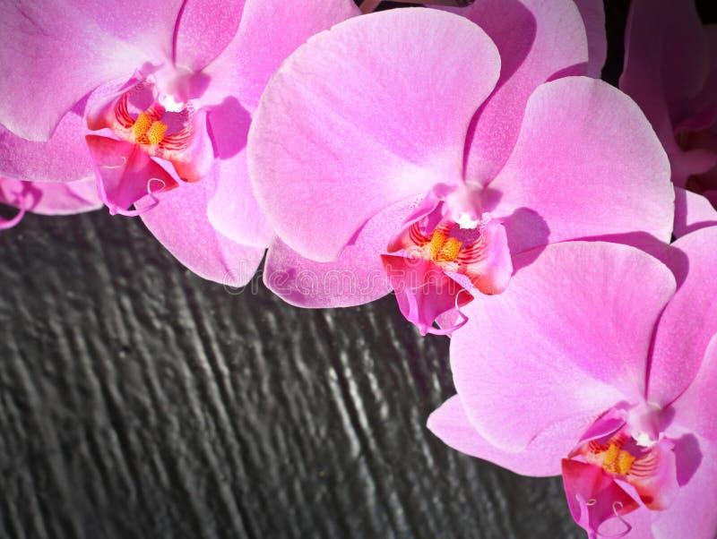 花兰花粉红色 免版税库存图片