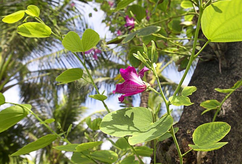花兰花紫荆花在越南 库存照片