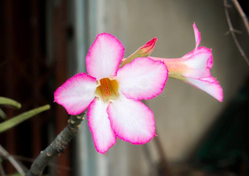 花兰花美丽在泰国 库存照片