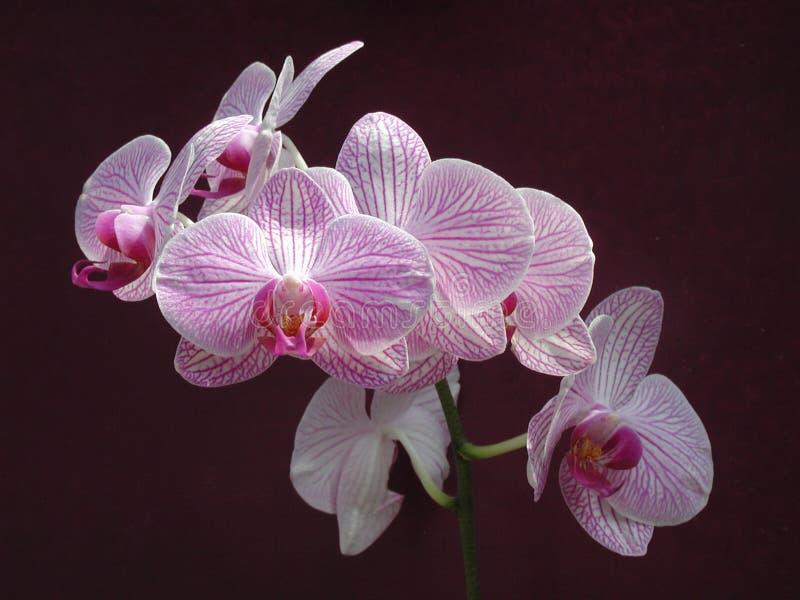 Download 花兰花 库存图片. 图片 包括有 详细资料, 兰花, 庭院, 粉红色, 工厂, 空白, 紫色, 结构树, 绿色 - 181275