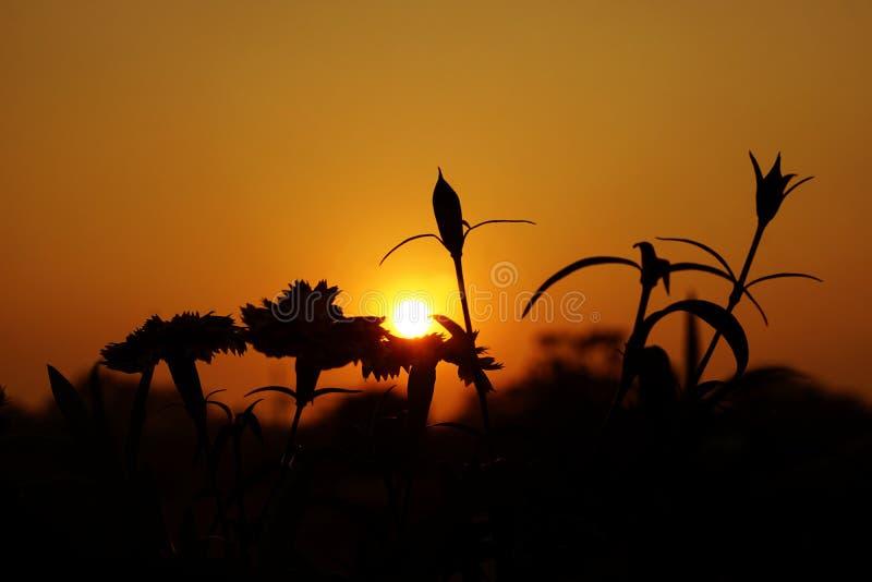 花剪影在日落的 免版税图库摄影