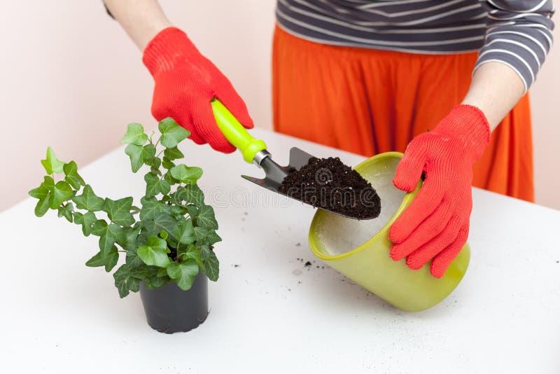 花匠倾吐地球入移植的植物的一个罐 家庭从事园艺的调迁的房子植物 库存照片