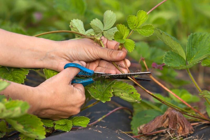 花匠切口草莓的手 库存照片