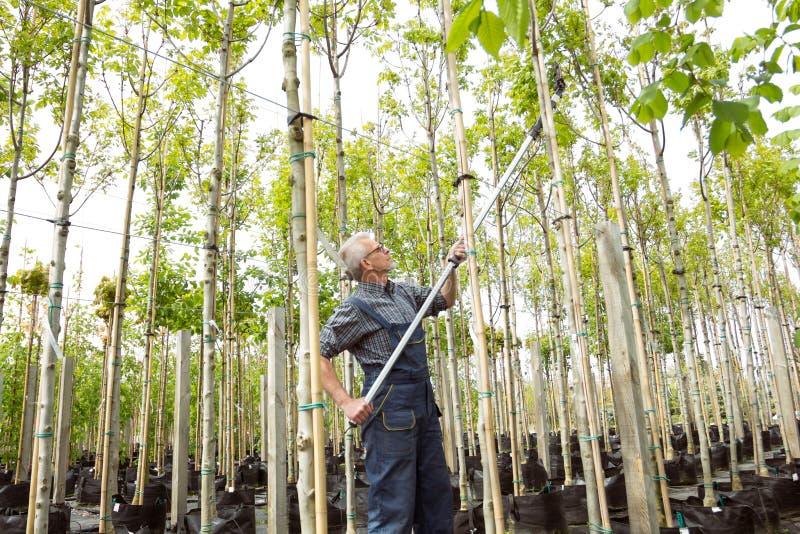 花匠在庭院商店砍高大的树木 免版税图库摄影