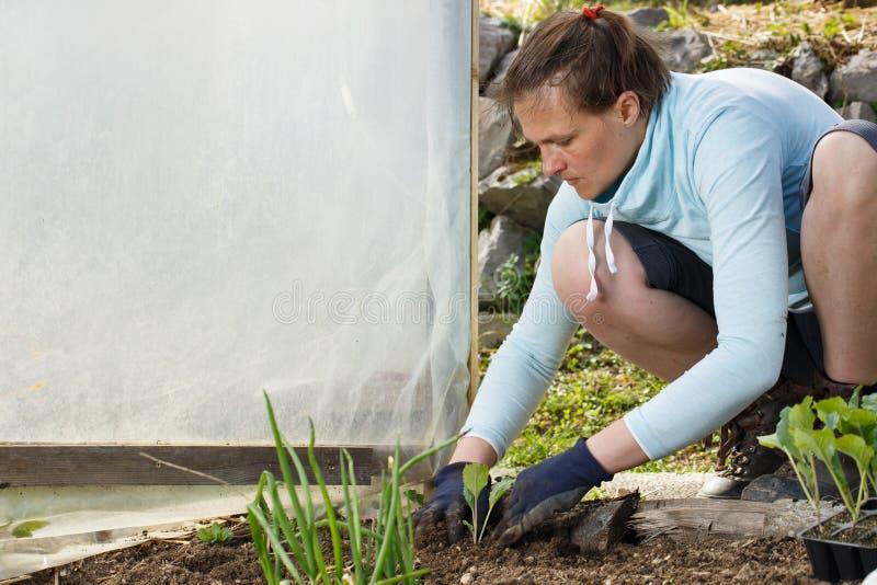 花匠在新近地被耕的庭院床上的种植花椰菜幼木 免版税库存照片