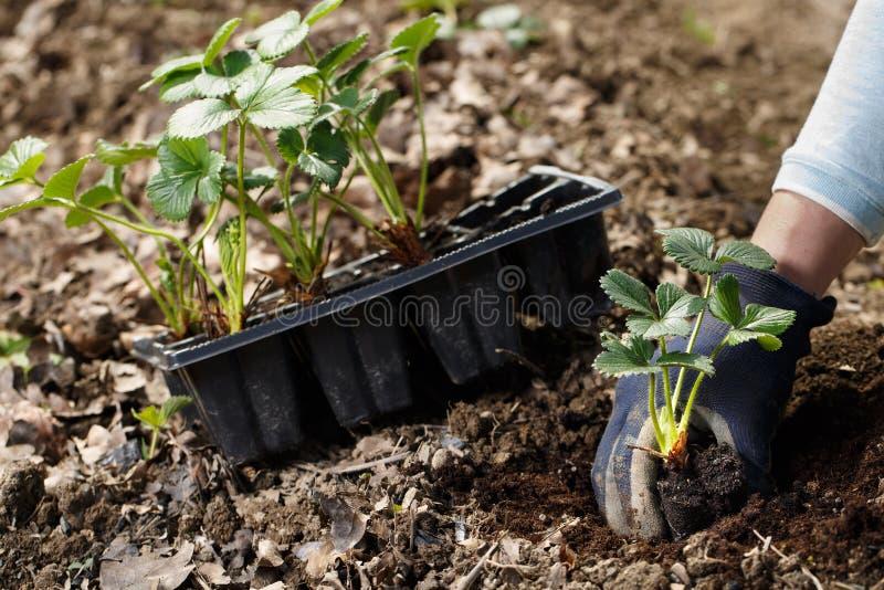 花匠在新近地被耕的庭院床上的种植草莓幼木 免版税库存照片