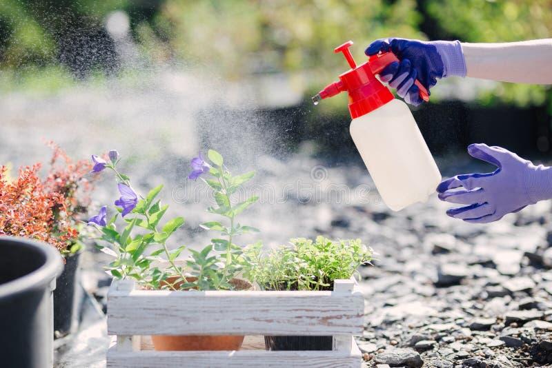 花匠妇女洒从庭院喷雾器的花,关闭照片 免版税库存图片