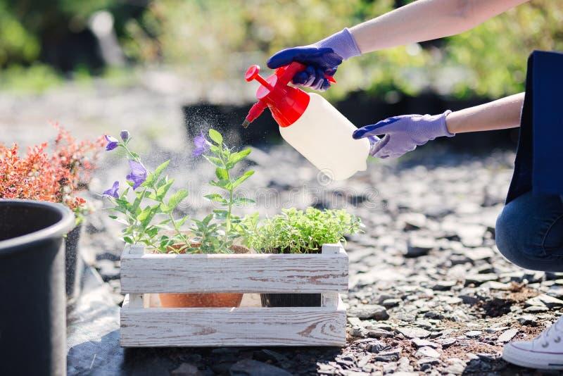 花匠妇女洒从庭院喷雾器的花,关闭照片 免版税图库摄影