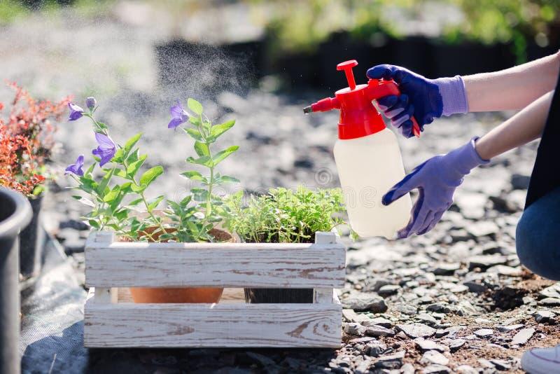 花匠妇女洒从庭院喷雾器的花,关闭照片 库存图片