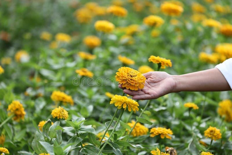 花匠检查黄色百日菊属植物刻花行所有伤疤或疾病春天和夏天收获的 免版税库存图片