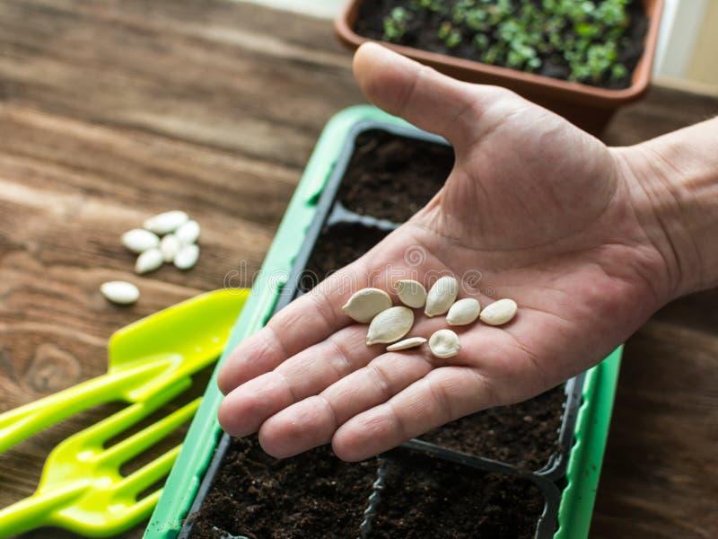 花匠的手,准备对种子植物 免版税库存图片