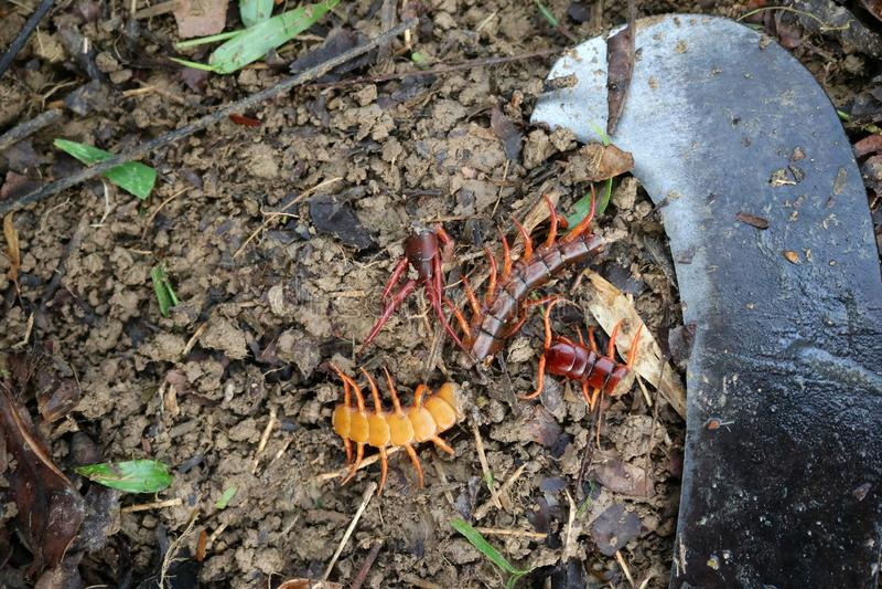 花匠的杀害蜈蚣毒动物在庭院里 免版税库存图片