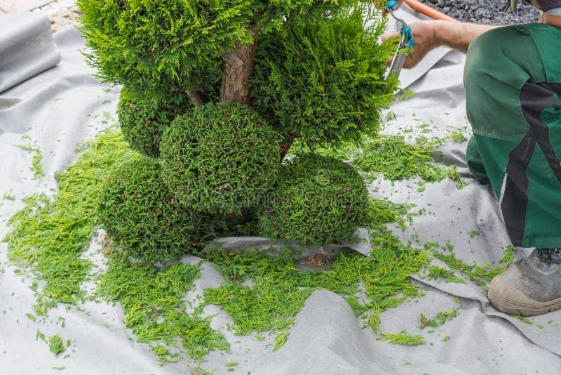 花匠砍金钟柏或山毛榉树在形状 库存照片