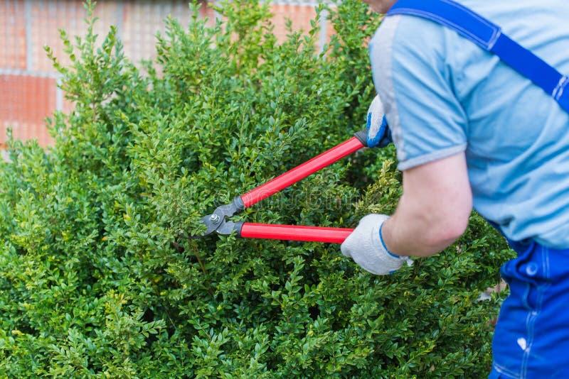 花匠被整理的黄杨木潜叶虫 免版税库存图片
