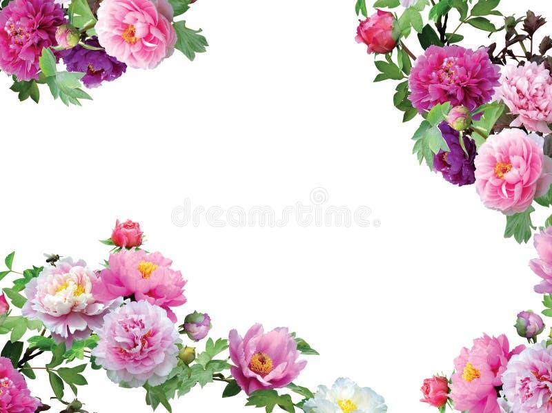 花卉带淡红色花框架查出的兰花 免版税库存照片
